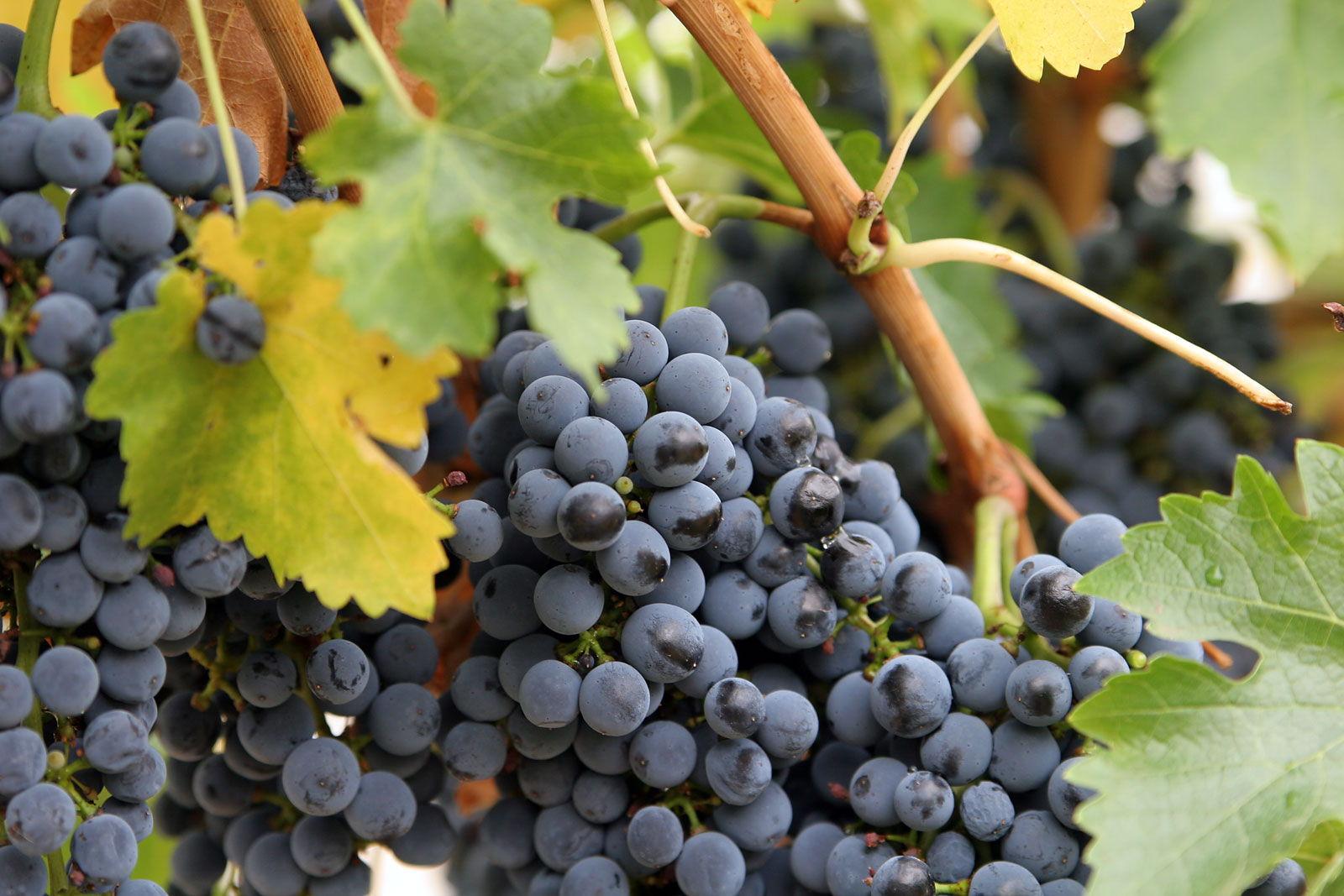 Close_up_grapes