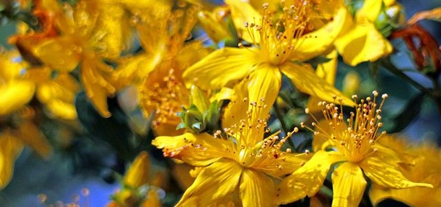 St Johns wort_Health