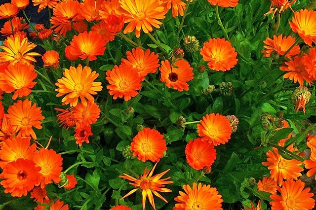 Calendula Health Benefits
