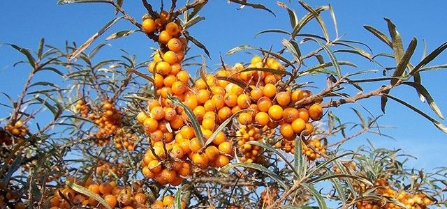 Hippophae Health Benefits
