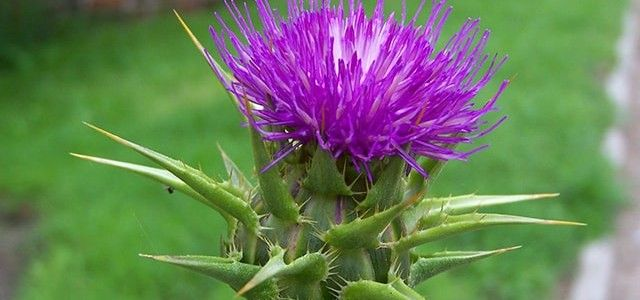 Milk thistle Health Benefits-min