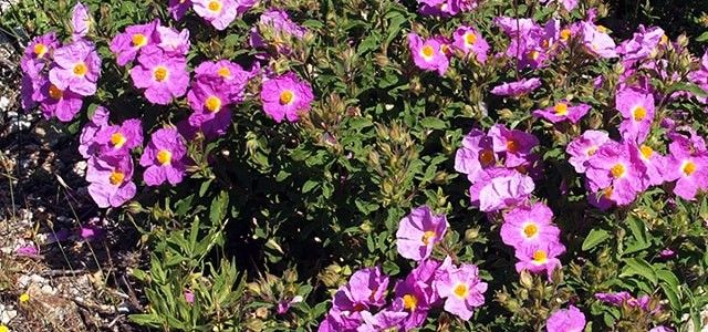 Health Benefits of Cistus Creticus
