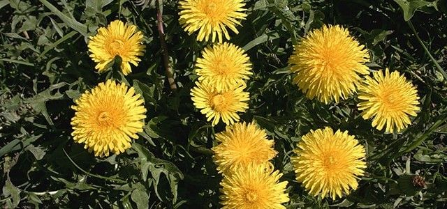 Health Benefits Taraxacum-min
