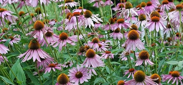 health-benefits-coneflower-min