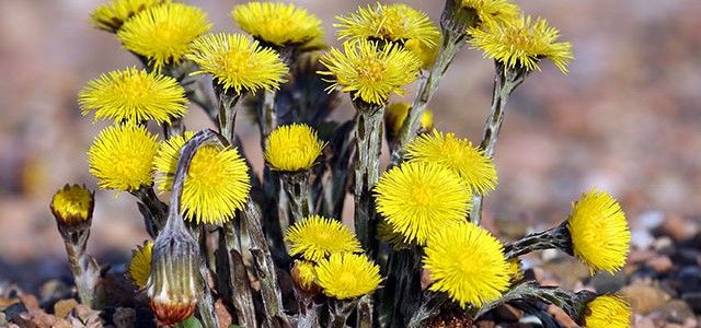 health-benefits-of-coltsfoot
