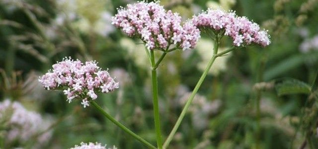 health-benefits-of-valerian